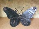 Moyen Papillon
